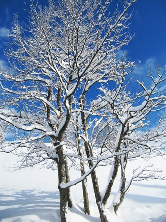 dazzlingly: snow covered trees on a dazzlingly bright winter day                            Stock Photo