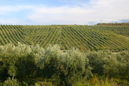 criss: neat rows of grapes in criss cross pattern with olive trees in the front Stock Photo