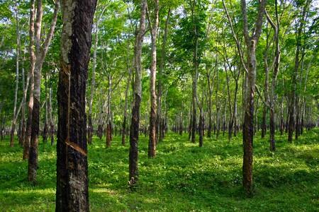 goma: bosque de �rboles de caucho