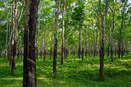 tree plantation: forest of rubber trees