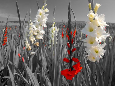 bright white and red flower blossoms in a black and white landscape photo