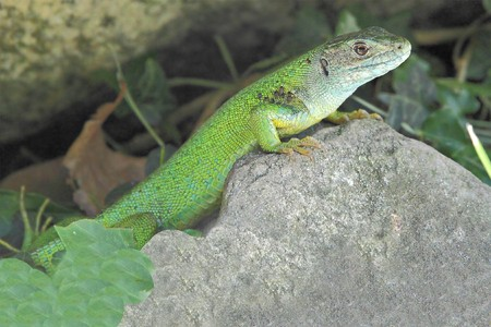 bilineata: western green lizard in hiding on a rock Stock Photo
