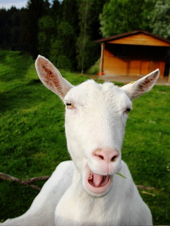 close up of white goat looking  and complaining noisily straight in the camera