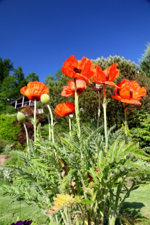 shiny red poppy flower plant blossoming flower in the garden photo