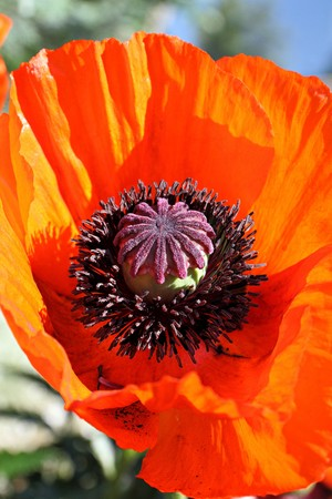 close up of a red poppy flower showing its fascination interior photo