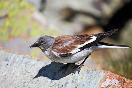european Snowfinch sits on a stone and eats insect