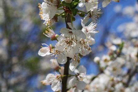 White cherry blossoms against a blue sky. Shallow dof. photo