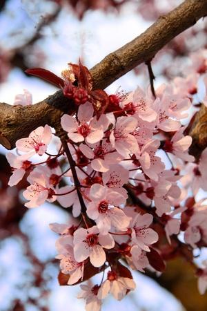 rose cherry blossoms against a blue sky. Shallow dof. photo