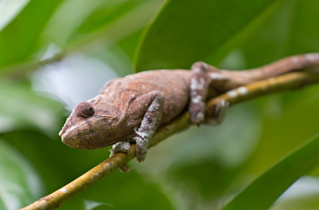 Brown Panther chameleon Furcifer pardalis crouches on branch photo