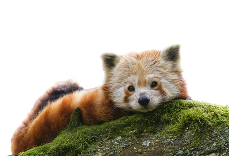 drowse: Red Panda Ailurus fulgens relaxes on moss covered branch isolated