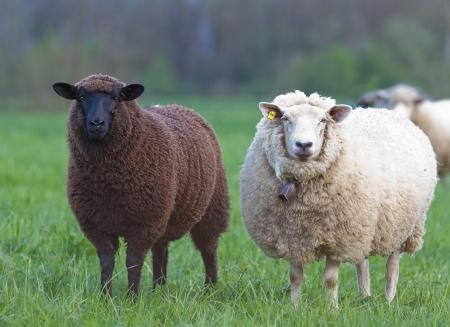 blancos y negro ovejas en concepto de pastos para contraste buenas y malas racismo multi étnico carreras culturas piel color pecado inocencia popular Paria
