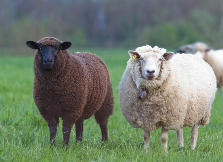 black and white sheep on pasture concept for good and bad constrast racism multi ethnic races cultures skin color sin innocence popular outcast Stockfoto