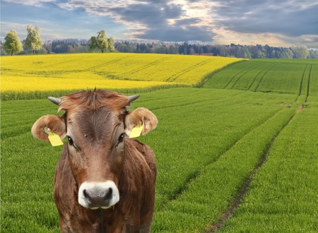 cow looks into camera in front of beautiful sweeping  fields, concept for agriculture business Stock Photo