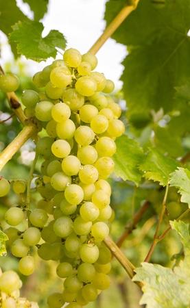 grape field: ripe grapes on grape-vine in autumn in vineyard