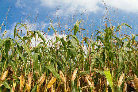 mealie: single ripe yellow cob of corn on a cornfield with a blue summer sky Stock Photo