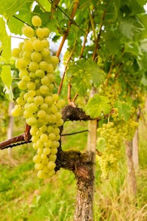 ripe grapes on grape-vine in autumn in vineyard