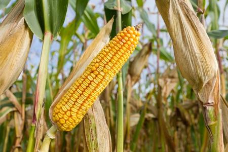 single ripe yellow cob of corn on a cornfield  Stock Photo