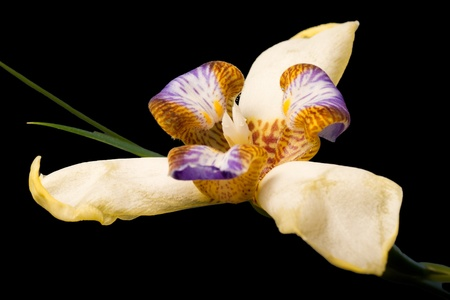 rar iris or orchid flower macro which only blooms for one day isolated on black Stock Photo - 11943355
