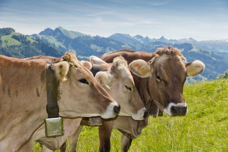 brown swiss cows on mountain pasture in Switzerland photo