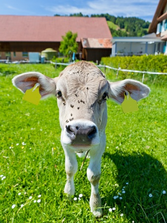 cream colored young curious cute calf with flies on its head on a farm meadow photo