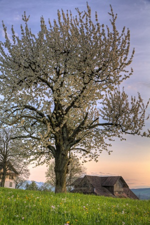 Blossom cherry tree at sunset und green spring meadow with vintage wooden farm house on a hill photo