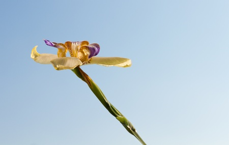 rar iris or orchid flower which only blooms for one day against a blue sky photo
