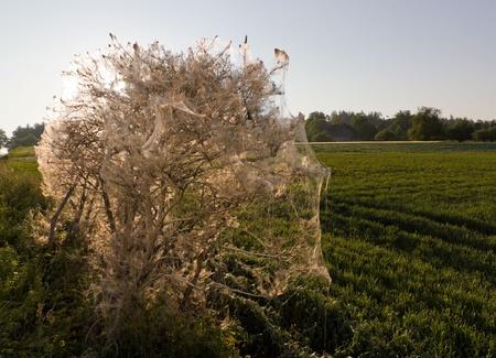 gronostaj: Bush całkowicie pokryte siatką spun przez szkodników gąsienic sadowniczy gronostajem Yponomeuta padella
