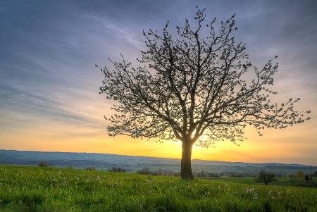 radiating: Albero, fiori di ciliegio in primavera e il verde prato al tramonto su una collina che irradia contro il tramonto