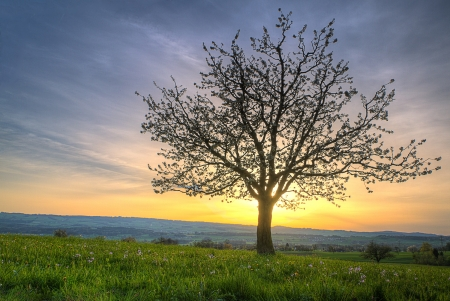 Cherry blossom  tree at sunset and green spring meadow  on a hill radiating against the sunset