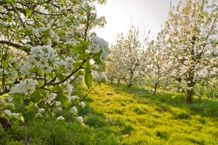 cherry blossom fruit orchard in spring photo