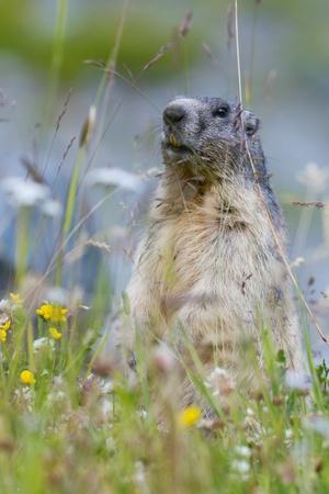 valais: groundhog on alpine flower meadow in summer in Valais, Switzerland