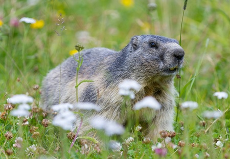 groundhog on alpine flower meadow in summer in Valais, Switzerland photo