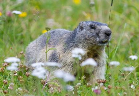 groundhog on alpine flower meadow in summer in Valais, Switzerland