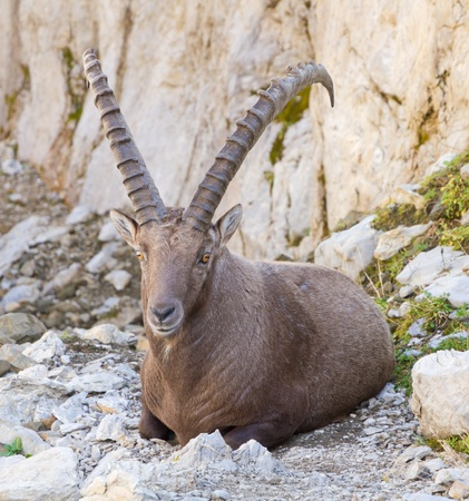 large strong male alpine ibex (Capra ibex) a wild goat species  in Switzerland photo