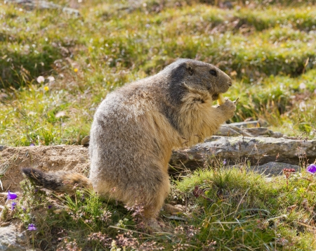 hog: groundhog sitting in front of its den in summer in Valais, Switzerland
