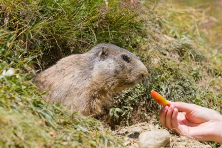 valais: Groundhog sitting in front of it s den a hand feeding it carrot in summer in Valais, Switzerland