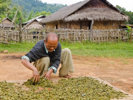 quantities: HPA AN, BURMA-OCT.  30: Unidentified old villager spreads green tea leafs to dry them on October 30, 2011 in Hpa An, Burma.  Green and Chinese tea is consumed in large quantities in Burma. Editorial