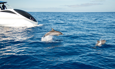 Atlantic spotted dolphin La Palma dolphin watching.