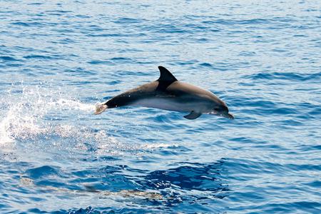 palma: Atlantic spotted dolphin La Palma dolphin watching.
