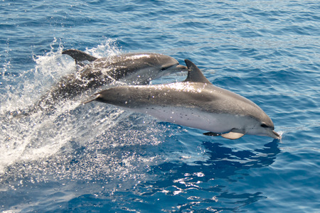 대서양에서 발견 된 돌고래 라 팔마 돌고래 관찰.