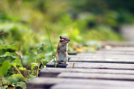 A curious Chipmunk in the Siberian nature reserve Stolby. Chipmunk in the wild. Banco de Imagens
