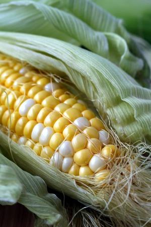 half open: Fresh corn cob  half open in his leaves and cornsilk