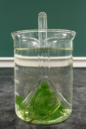 tubo de ensayo: Experimento de laboratorio: observaci�n del fen�meno de la respiraci�n de Cabomba planta acu�tica (convierte el di�xido de carbono en ox�geno)