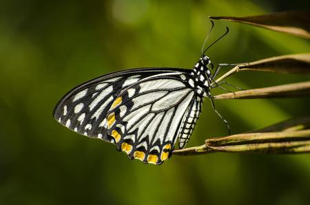 mimo: Mime mariposa -Papilio clytia