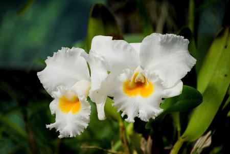 phalaenopsis: Cattleya Orchid in peradeniya botanical garden, Sri Lanka