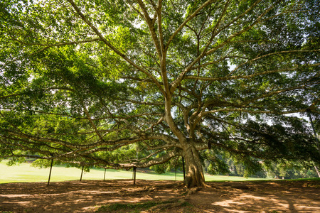 Canopy of a huge tree at royal botanical gardens of peradeniya, Sri lanka
