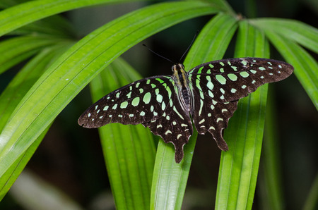 Graphium agamemnon, the tailed jay, is a predominantly green and black tropical butterfly that belongs to the swallowtail family. Foto de archivo