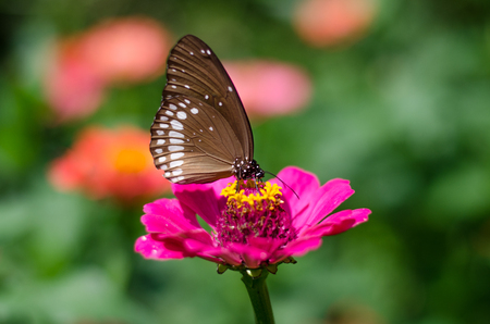 Euploea core, the common crow, is a common butterfly found in South Asia and Australia.