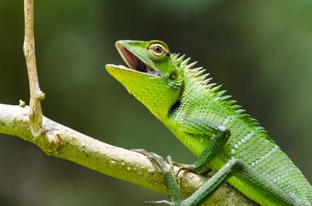 Garden Lizard (Calotus calotus), Sri Lanka