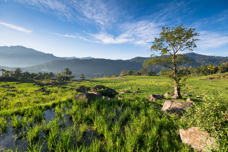 Terreced Rice Fields of Kotmale, Central Hilands of Sri Lanka.